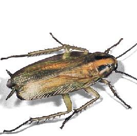 Käfer-Schädlinge